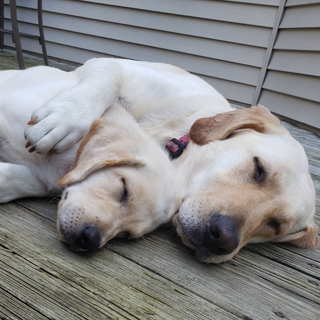 If You Love Labradors Visit Our Blog Labrador Labradorretriever Labradorcentral Retriever Labradors Retrievers Repost Dog Love Lab Puppies Happy Dogs