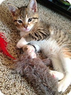 Broomall, PA - Domestic Shorthair. Meet Azalia, a kitten for adoption. http://www.adoptapet.com/pet/9809303-broomall-pennsylvania-kitten