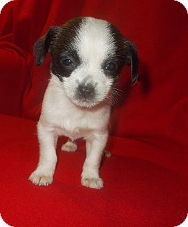 richmond, VA - Poodle (Toy or Tea Cup)/Chihuahua Mix. Meet ZOEY a Puppy for Adoption.