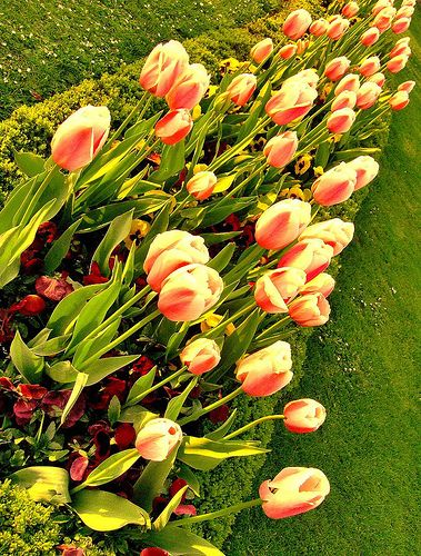 Tulips in Rows...