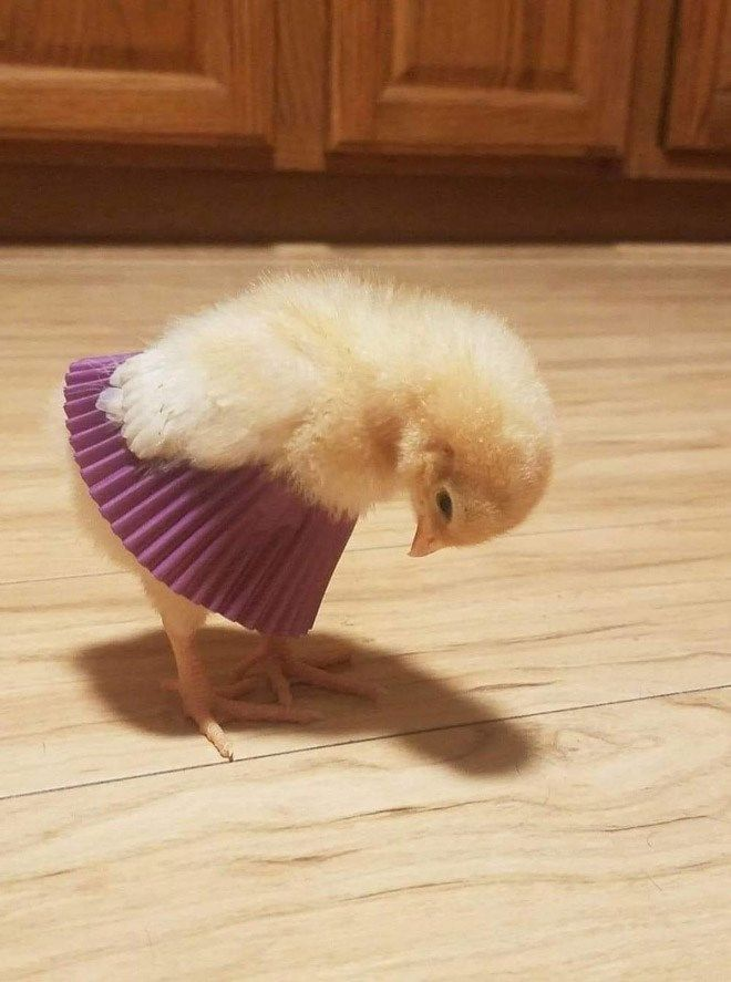Little Chicks Wearing Tutus Made From Cupcake Liners Are The Sweetest Thing