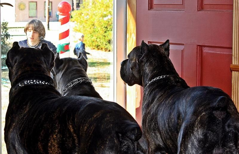 Male Cane Corso Protection Trained