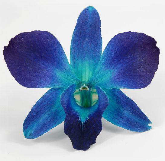 Preserved Orchids Sonia Blue Box Of 30 Save 52 Blue Flowers Orchids Blue Orchids