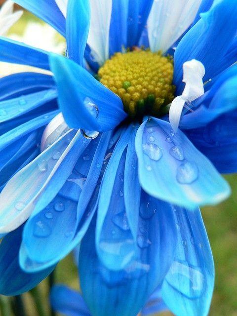 Pin By Inés Pinilla Romero On Tuurkwaz Beautiful Flowers Blue Daisy Flowers