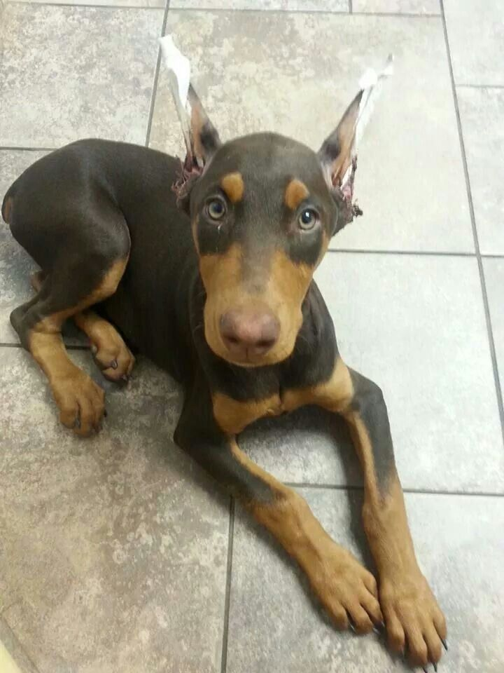 Doberman Puppy With Ears Just Cropped