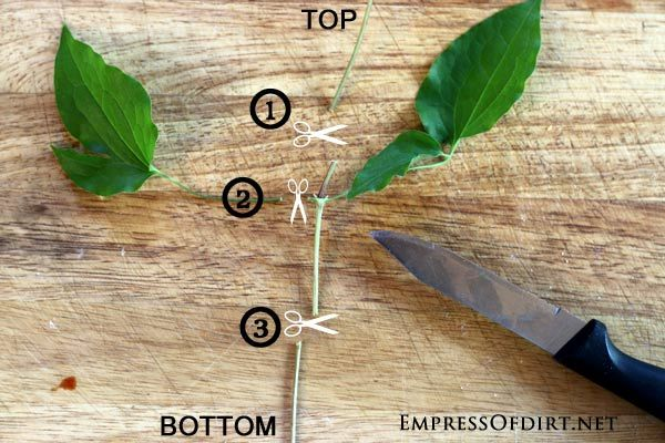 How To Grow Clematis From Cuttings Empress Of Dirt Clematis Plants Clematis Vine Clematis