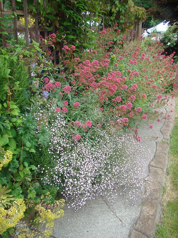 Side Garden Idea Red Valerian Underplanted With Pink Babys Breath Bush Plant Plants Cottage Garden