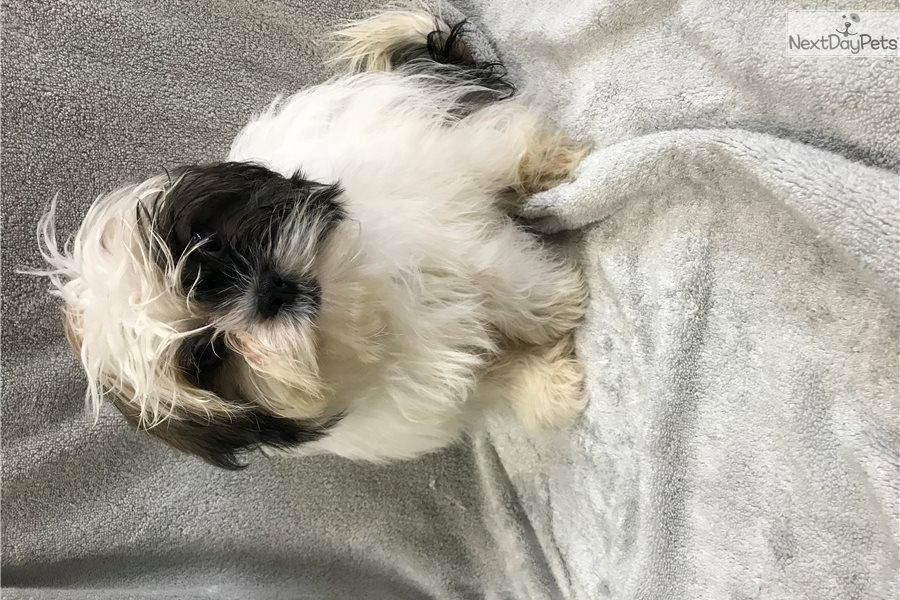Shih Tzu Puppy For Sale Near Chicago Illinois A9766566 1671