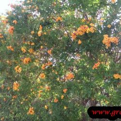 Photo of Orange jubilee
