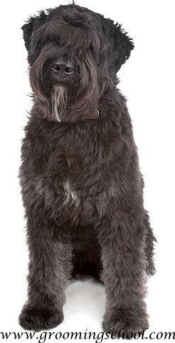 Bouvier Des Flandres Dogs Bouviers Des Flandres