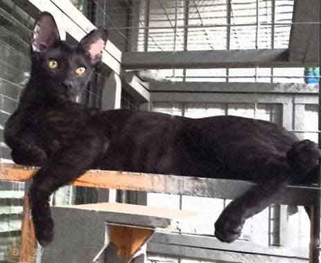 Pin On F5 Sbt Melanistic Kitten Agato Savannahs Siri