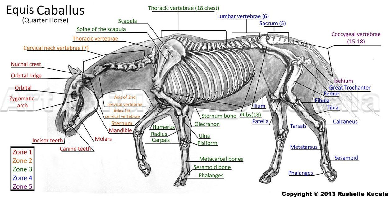 Horse Skeleton Diagram Labeled Vintage Human Heart Study By Thedragonofdoom Vet Stuff Pinterest