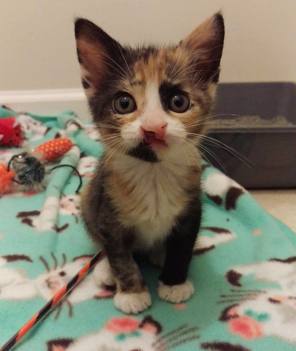 Calico Kitten Can T Grow But A Couple Changes Her Life Forever Calico Kitten Kittens Cats And Kittens