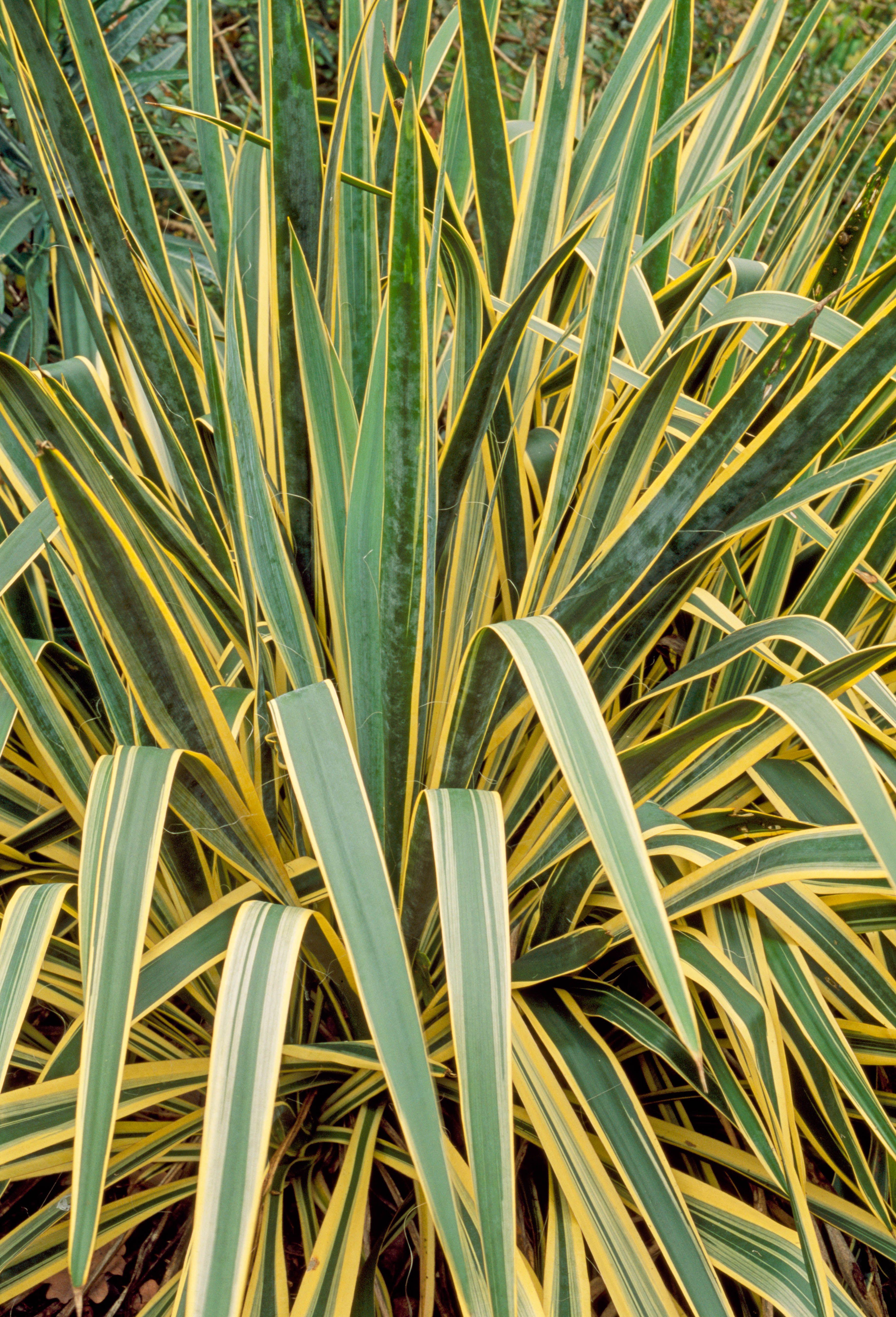 Picture of Live Adam's Needle aka Yucca 'Bright Edge' Plant Fit 5 Gallon Pot