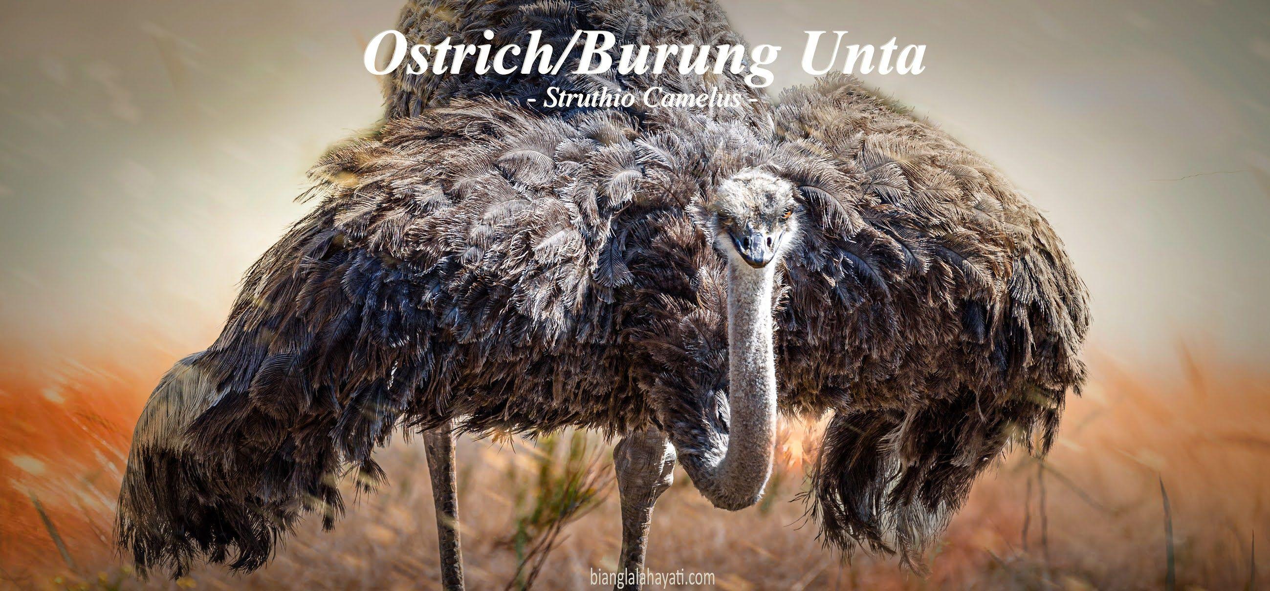 Bianglala Hayati Ostrich Burung Unta Pelari Tercepat Yang Mengaum Di 2020 Burung Unta Hewan