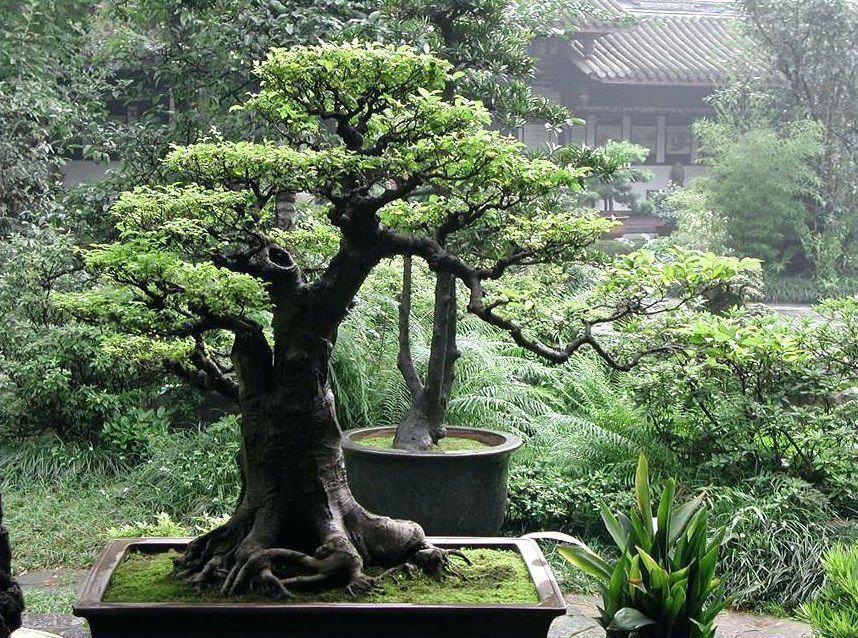 Types Of Bonsai Trees Indoor Bonsai Tree Bonsai Tree Indoor Bonsai