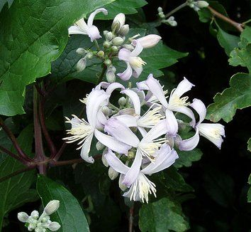 GOOD FOR GROUND COVER Clematis x jouiniana 'Praecox' 1 flower