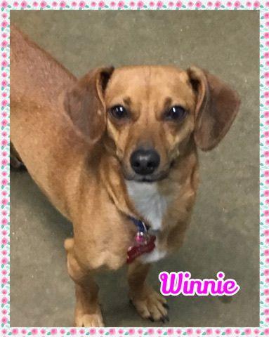 Chiweenie Dog For Adoption In Jasper In Adn 728295 On