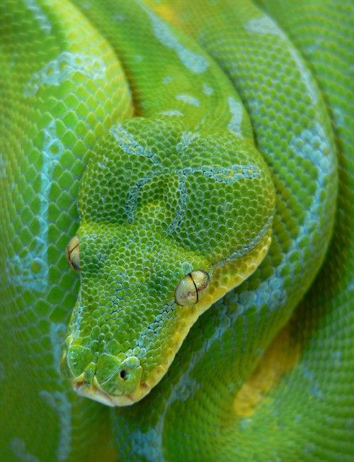 Green Tree Python Animais Repteis Serpente