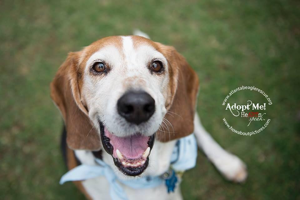 Adoptable Beagle Fez Of Atlanta Beagle Rescue Has A Big Case Of
