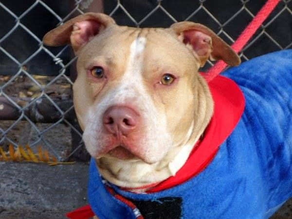 Super Urgent 11 26 13 Manhattan Ctr Teddy A0985557 Male Tan White Pit Mix Owner Sur 11 21 13 1yr 3 Mths Losing The With Images Pitbull Mix Dog Adoption My Animal