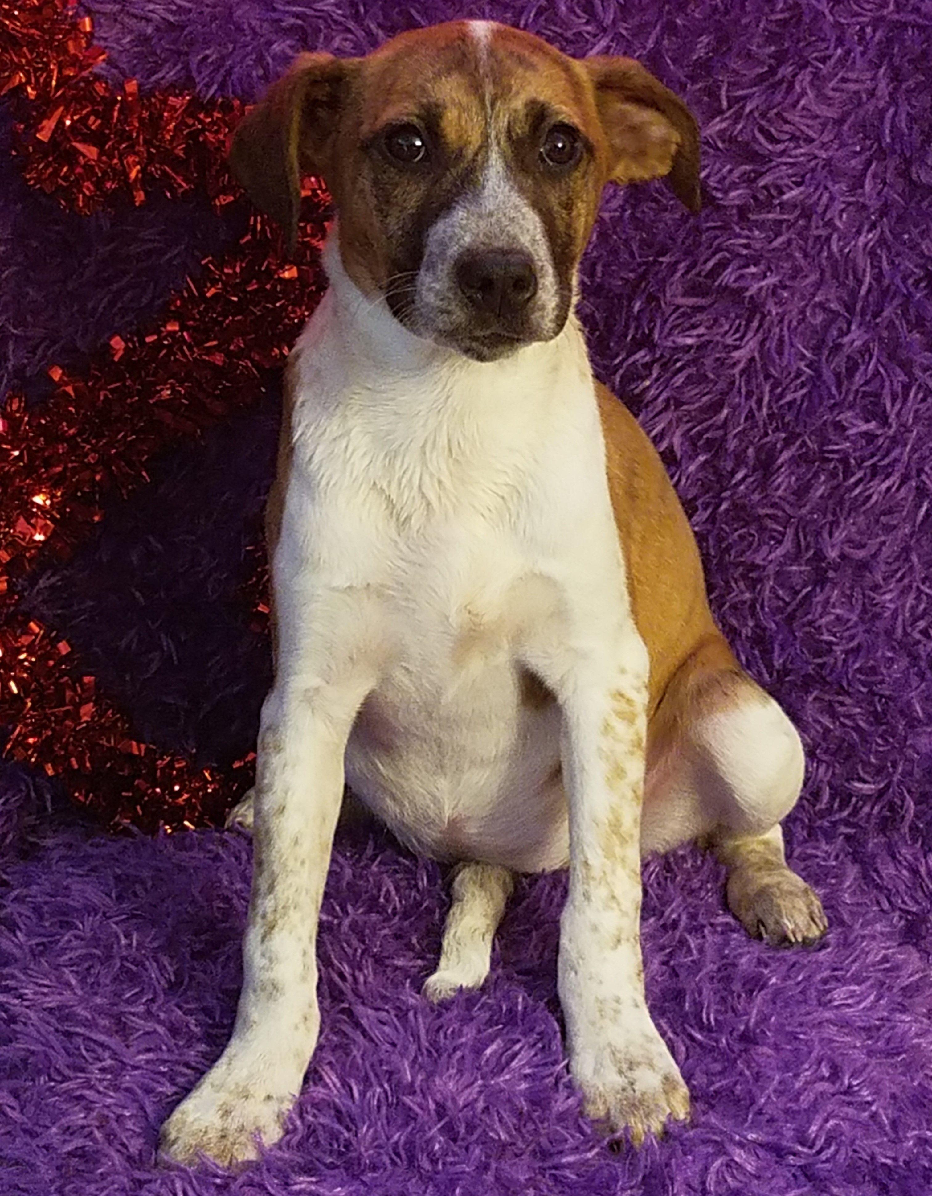 Boxador Dog For Adoption In Newark De Adn 449114 On Puppyfinder