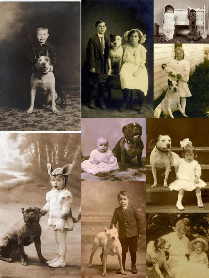 The American Pittbull Terrier An American Tradition A Nanny Dog