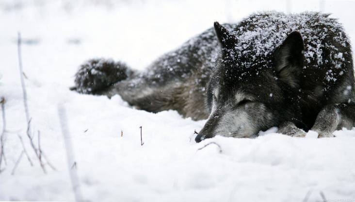 Resultado de imagem para lobo preto hd