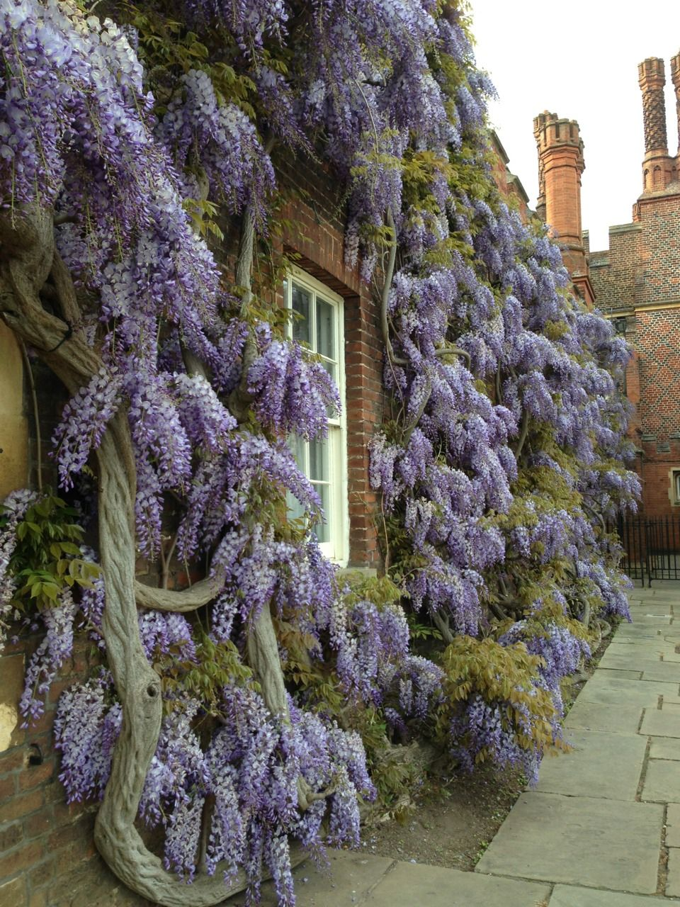 hampton court palace, england. vine. Hampton court