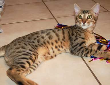 Wild Trax Savannah King When Buying For A Pet It Is Best To Buy F4 Or Older Savannah Chat Asian Leopard Cat