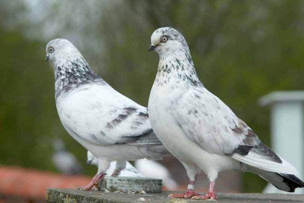 De Tippler Google Zoeken Pigeon Animals Birds