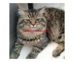 Cat For Adoption Cat Adoption Cats Adoption