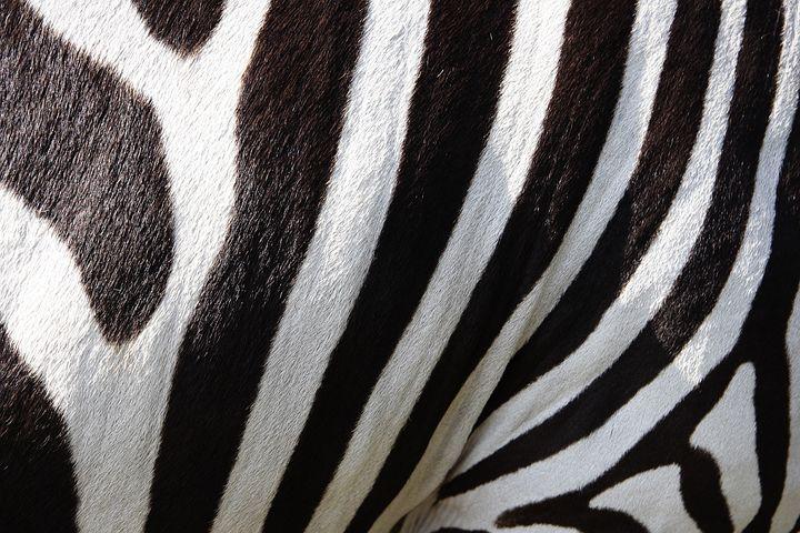Zwierzęta, Zebra, Paski