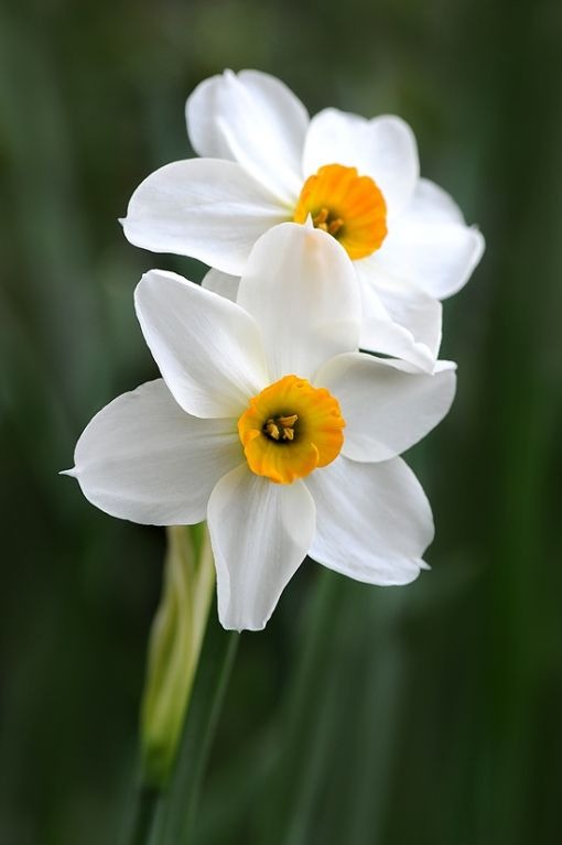 Love Daffodils Yellow Wedding Flowers Pretty Flowers Flower Photos