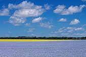 A Prairie Sea -Flax Field in Bloom