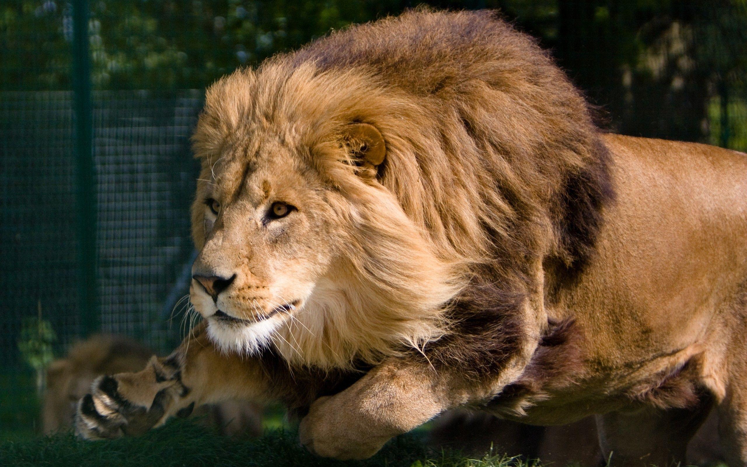 Hd wallpaper lion - Hd Desktop Lion Charging