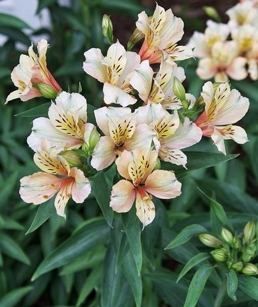 Alstroemeria Koice Dry Shade Plants Pollinator Plants Alstroemeria