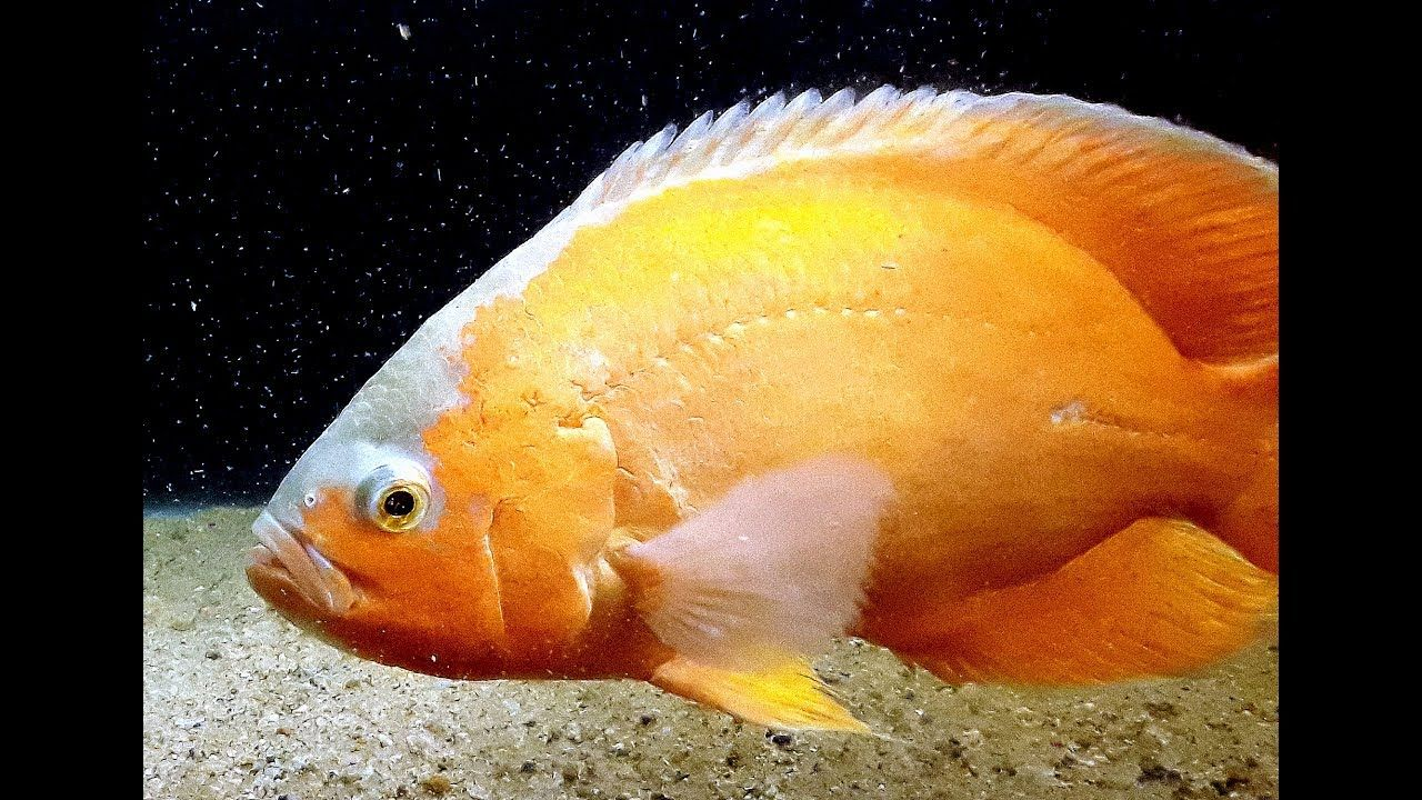 Oscar Fish Beginners Guide Oscar Fish Cichlids Fish