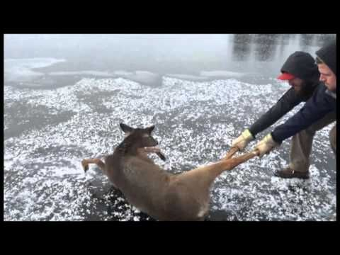 Helpless Deer Trapped in the Middle of a Frozen Lake Gets Rescued by Two Kind Men (VIDEO) | One Green Planet