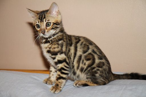 Bengal cat. The one loophole in being able to have a cat one day. Want.