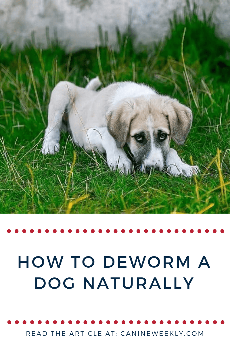 8 Home Remedies For Deworming Dogs Dog Health Tips Pinterest