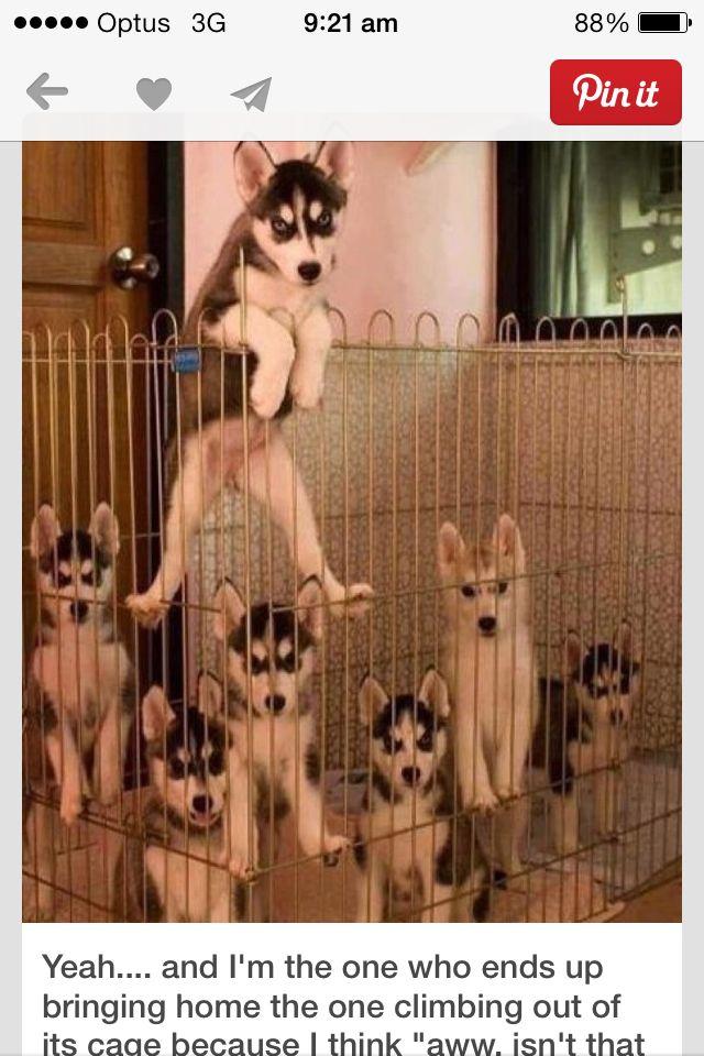 Puppies huskies