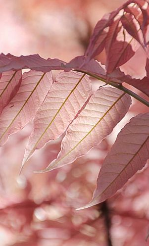 Pink On Pink By Susan C Joppix Off And On Nz The Pinkness Of Cedrela Sinensis In Spring Aka Chinese Toon C All Rights Res Rosas Imagem Rosa Cor De Rosa