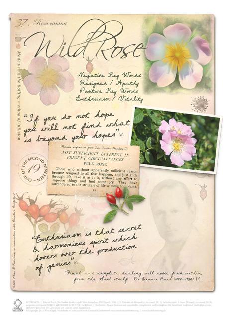 Wild Rose Bach Flower Essence Stock Bach Flower Remedies Flower Remedy Flower Essences