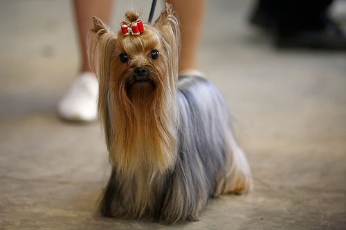 dog grooming styles Google Search Yorkshire terrier