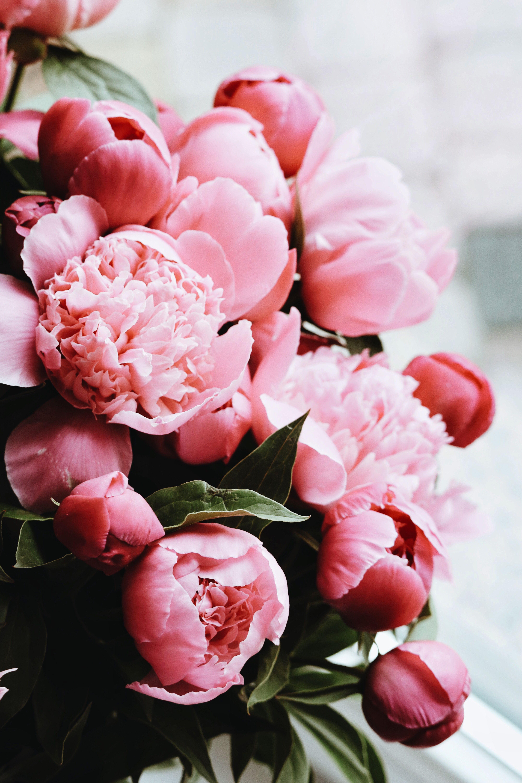 Цветы пионы фото красивые картинки современное