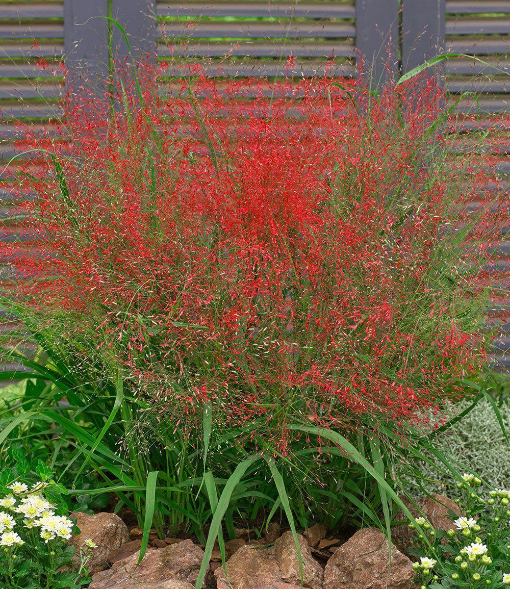 Rotes Liebesgras Ziergraser Bei Winterharte Pflanzen Garten Garten Pflanzen Immergrune Pflanzen