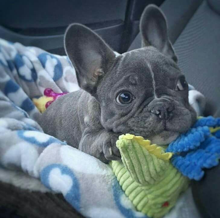 Blue French Bulldog Puppy Bulldog Puppies French Bulldog Blue French Bulldog Puppies
