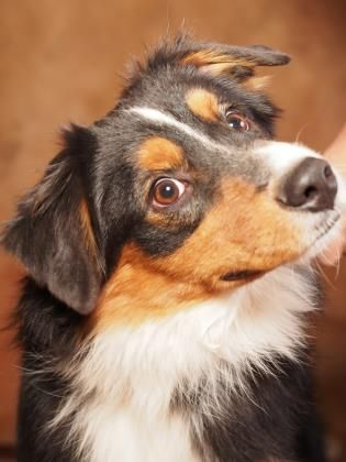 Adopt Coulter A Lovely 8 Months 12 Days Dog Available For