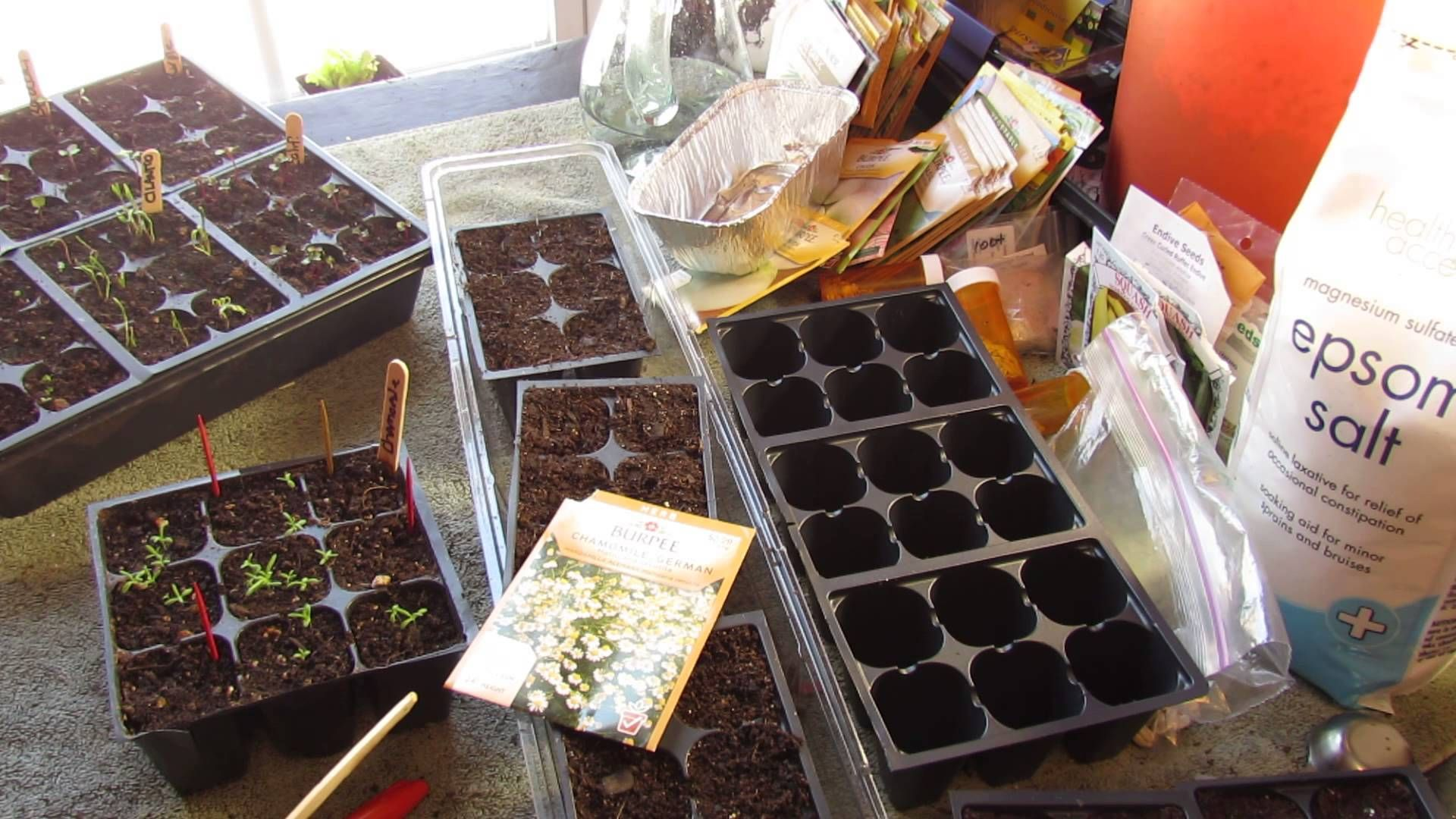 German Chamomile Will Grow About 2 Feet Tall And It Will 400 x 300